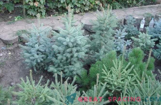 Фиданки от иглолистни дървета